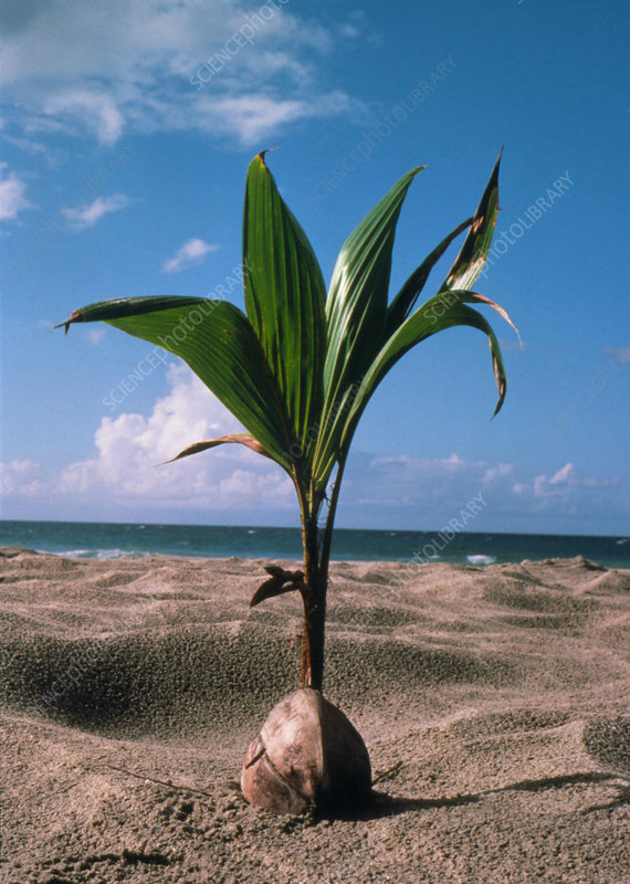 Coconut palm germinating on a beach