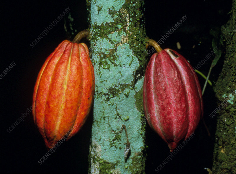 Cocoa pods growing on tree