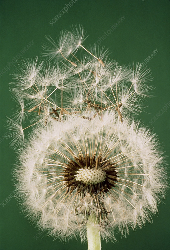 Seeds leaving a dandelion clock