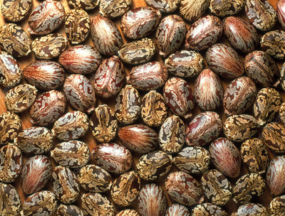 Seeds of the castor oil plant