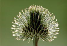 Close-up of the fruit of a thistle