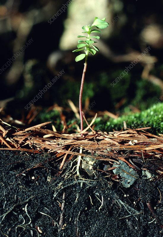 Weed seedling growing in soil profile