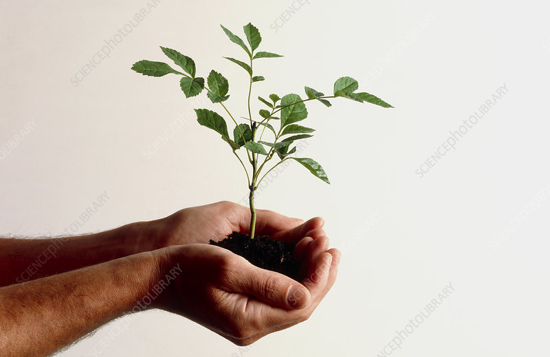 Cupped hands holding ash seedling