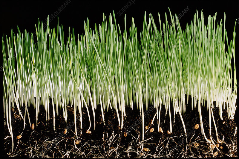 Wheat seedlings growing in soil