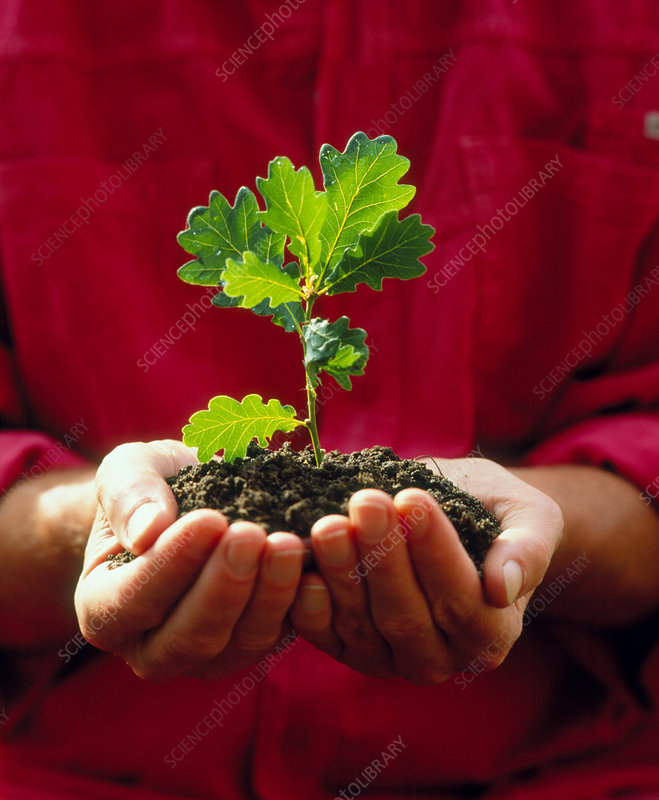 Cupped hands holding an oak seedling