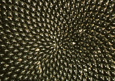 Pattern of seedhead of sunflower