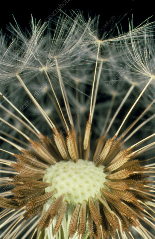 Seeds attached to a half-empty dandelion
