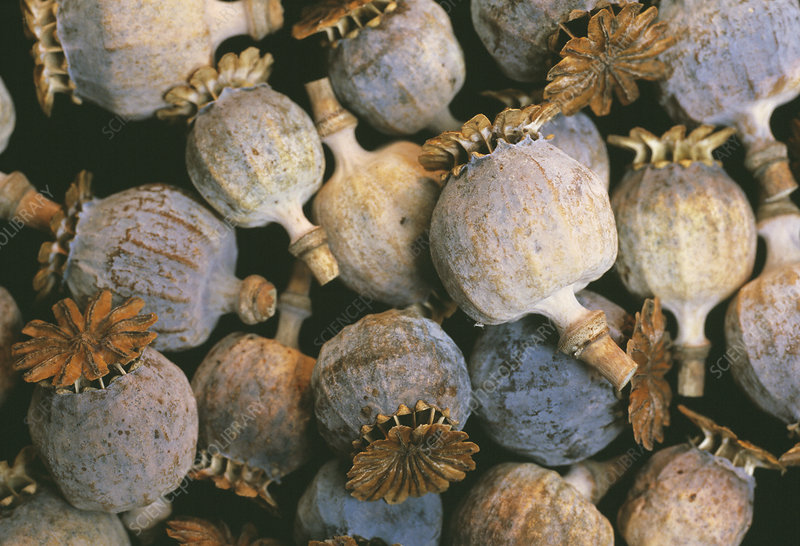 Dried opium poppies