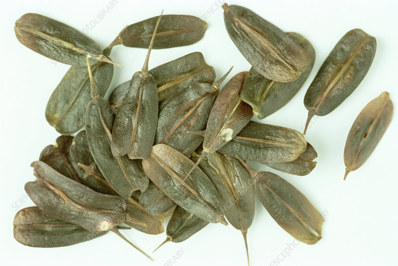 Dyer's woad seeds