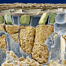 Wheat grain, SEM