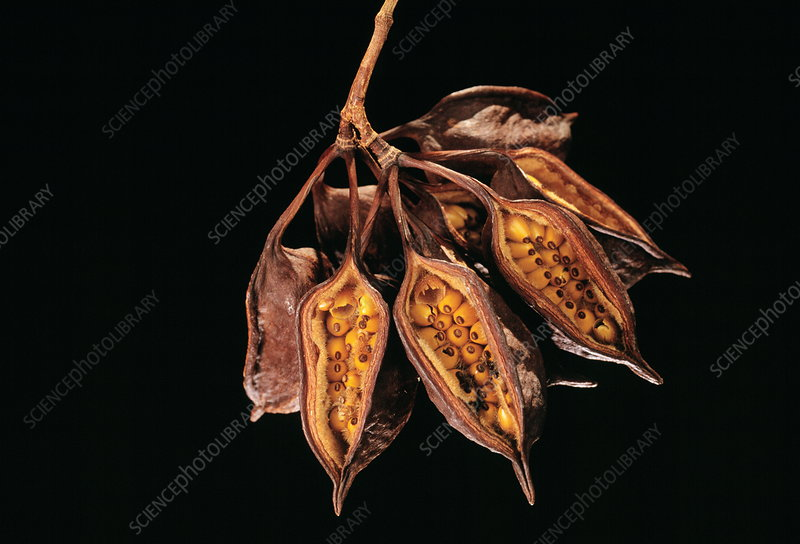 Bottle tree seed pods
