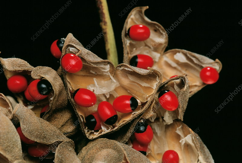 Rosary pea seed pods
