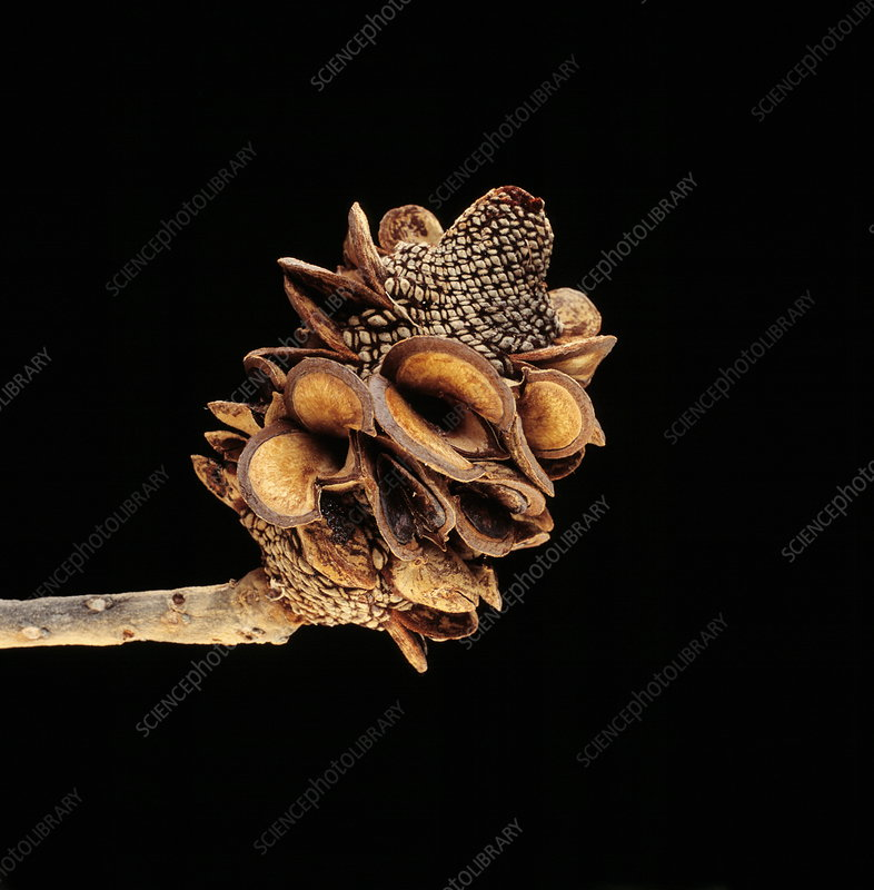 Banksia seed cone