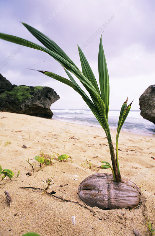 Germinating coconut palm