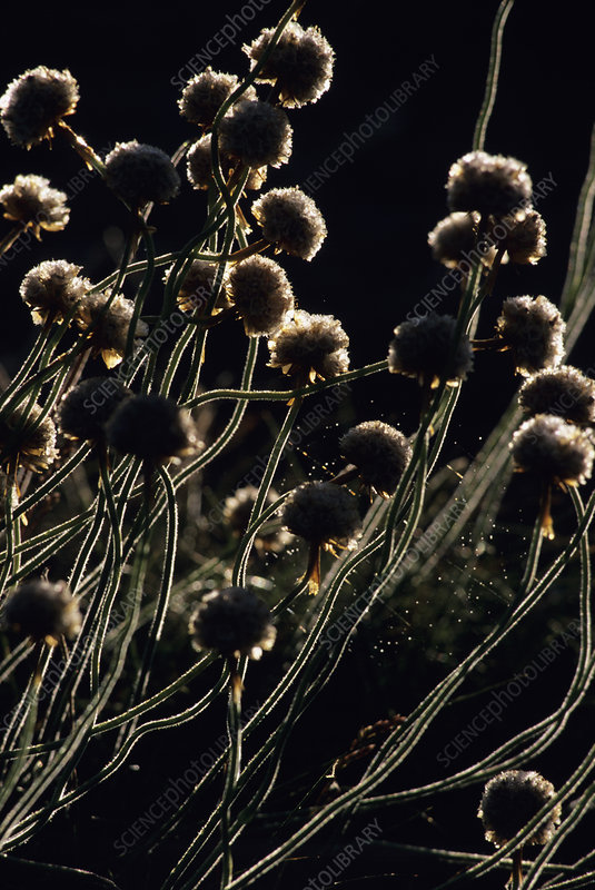 Thrift seed heads