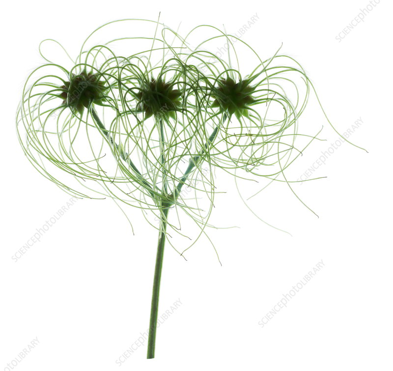 Clematis seed heads (Clematis vitalba)