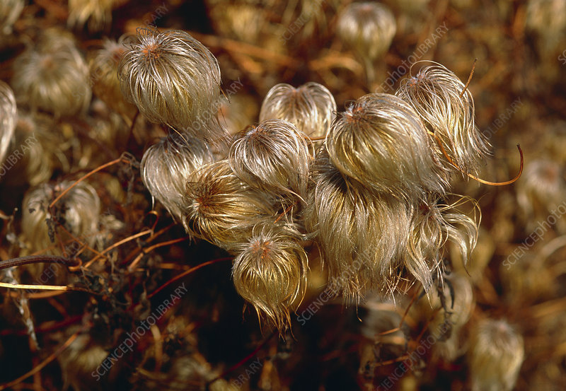 Clematis flammula seeds 'Bill McKenzie'