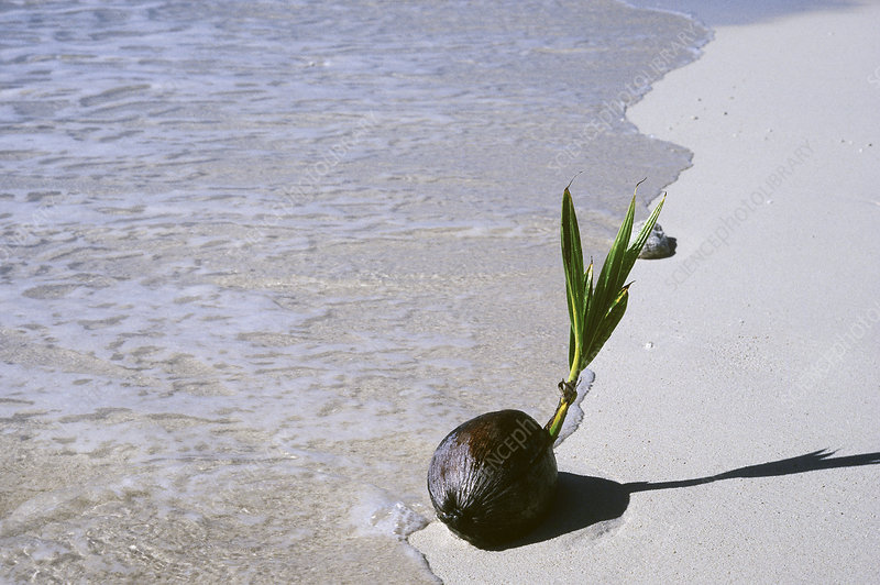 Sprouting Coconut