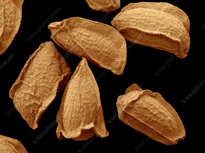 SEM of Evening Primrose Seeds