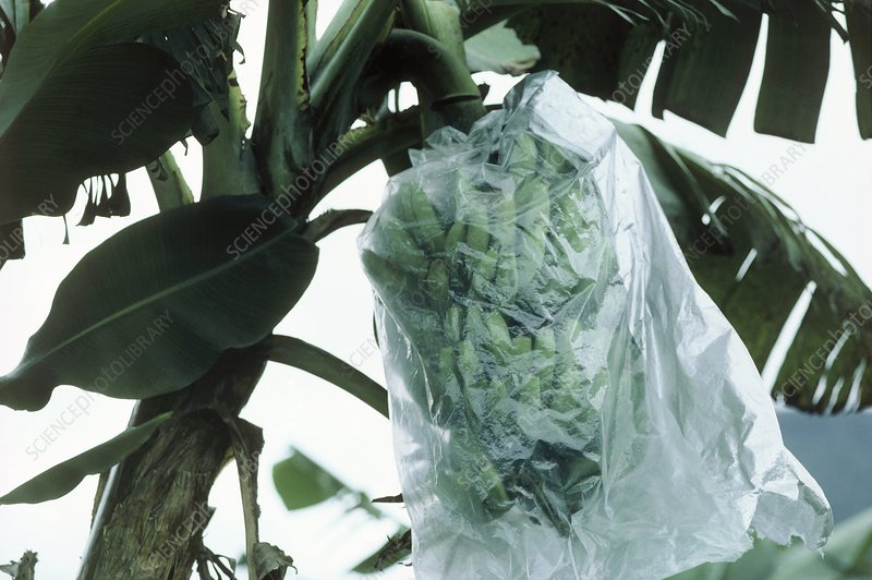 Green bananas covered with plastic bag