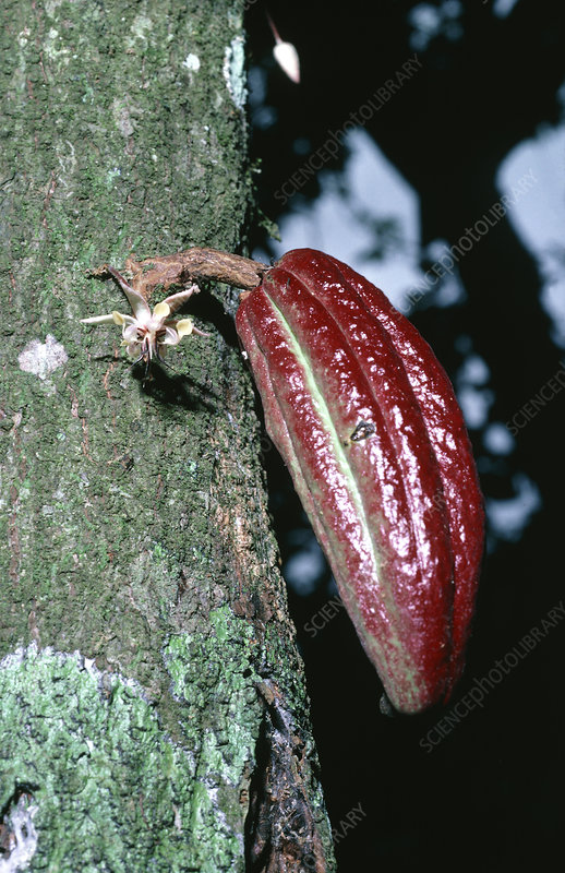 Young cocoa pod