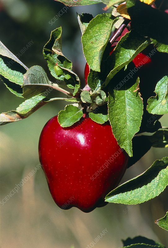 Red Delicious apple on a branch