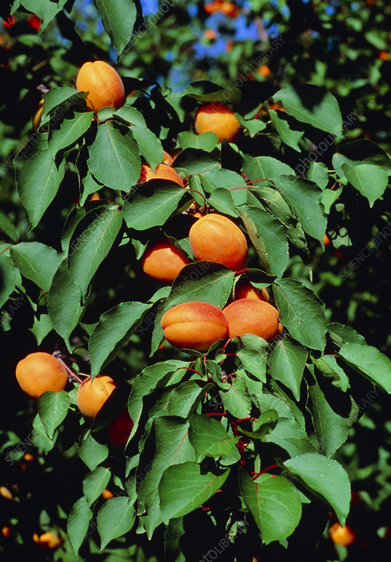 Ripe apricots growing on a branch