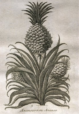 1753 engraving of a pineapple plant