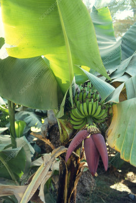 Flowering banana tree with unripe fruit