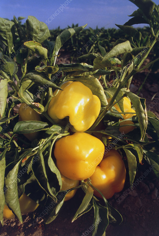 Yellow pepper plant with fruit