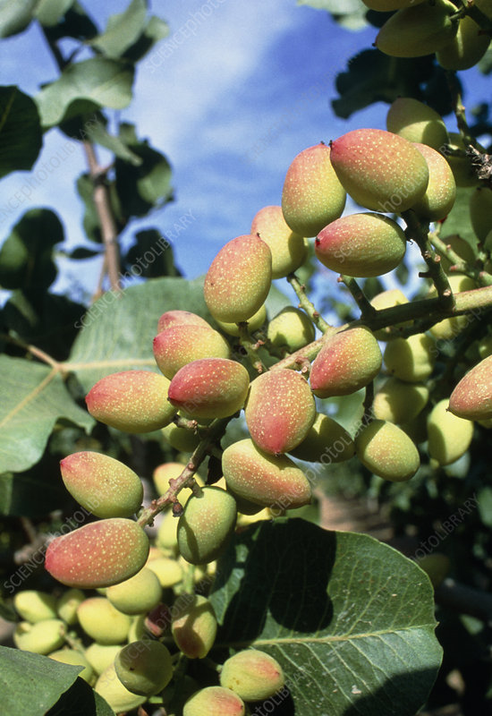 Pistachio nuts growing on a branch