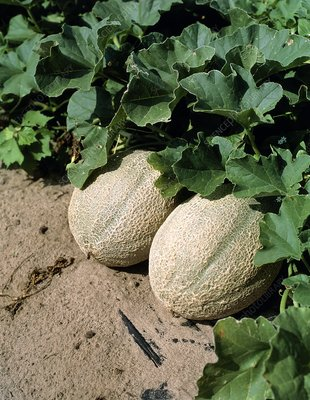 Cantaloupe melons ready for harvest