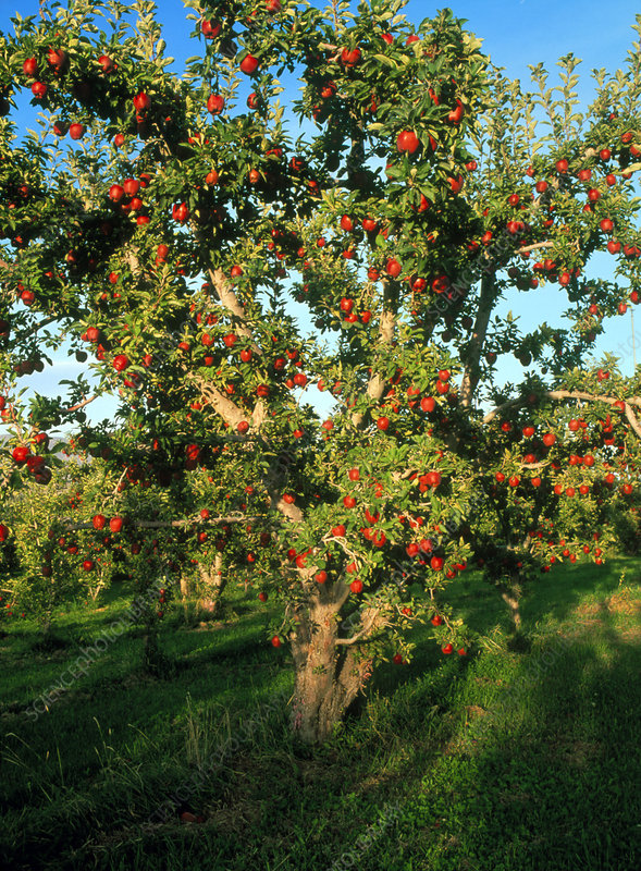 Tree of ripe Red Delicious apples
