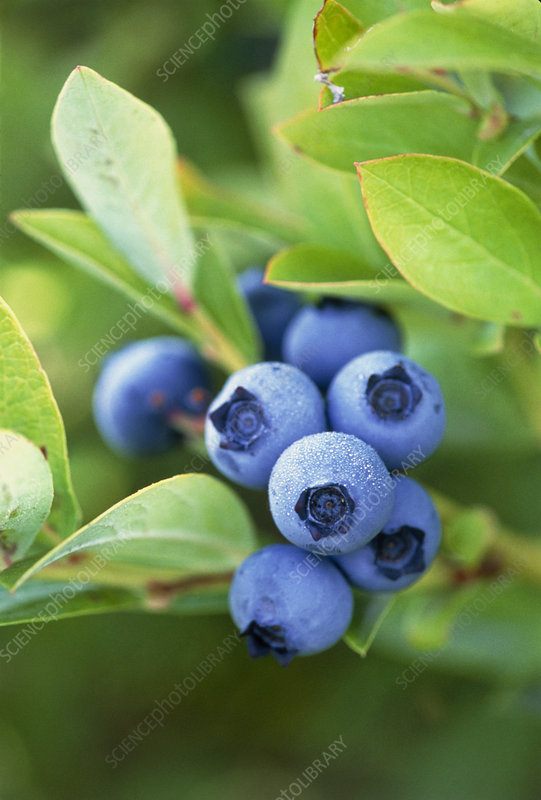 Blueberries growing on a shrub