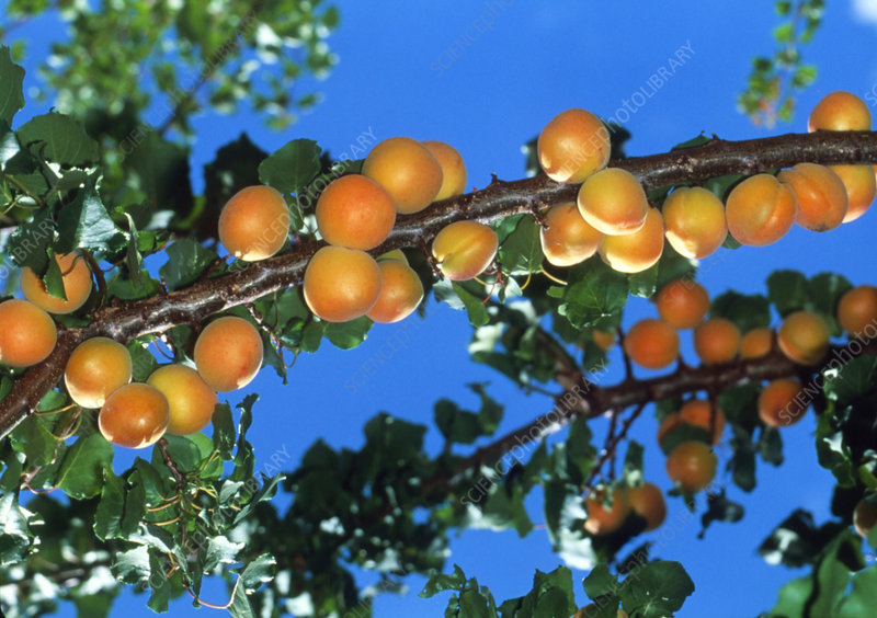 Apricots on branches