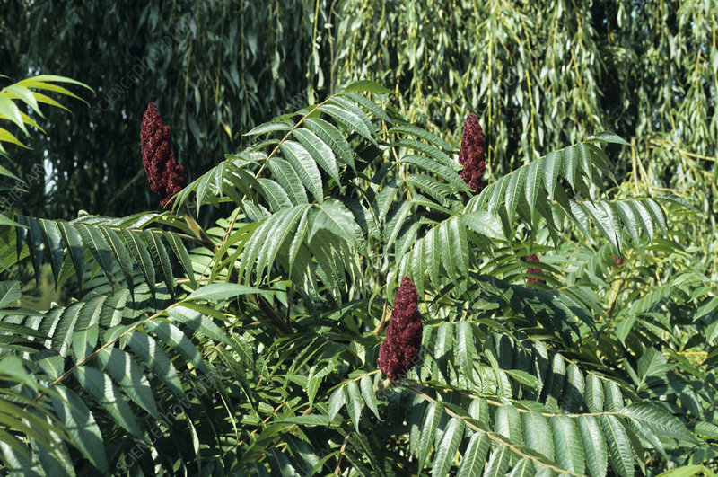 Staghorn sumac fruits