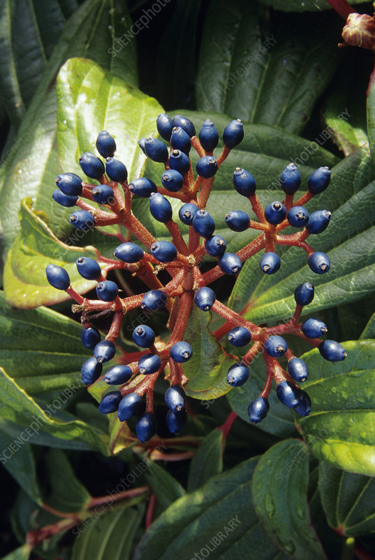 David viburnum berries