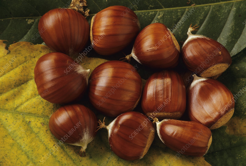 Sweet chestnuts (Castanea sativa)