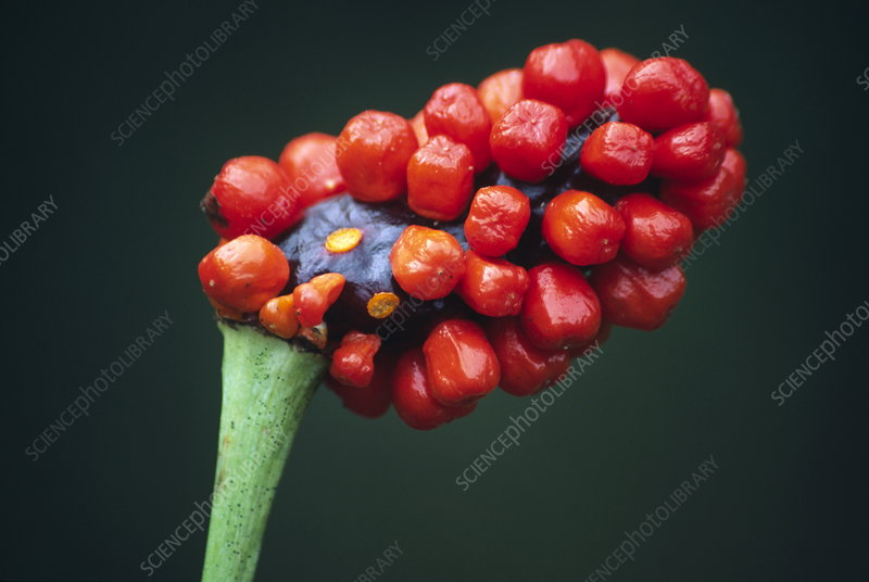 Jack-in-the-pulpit fruit (Arisaema sp.)