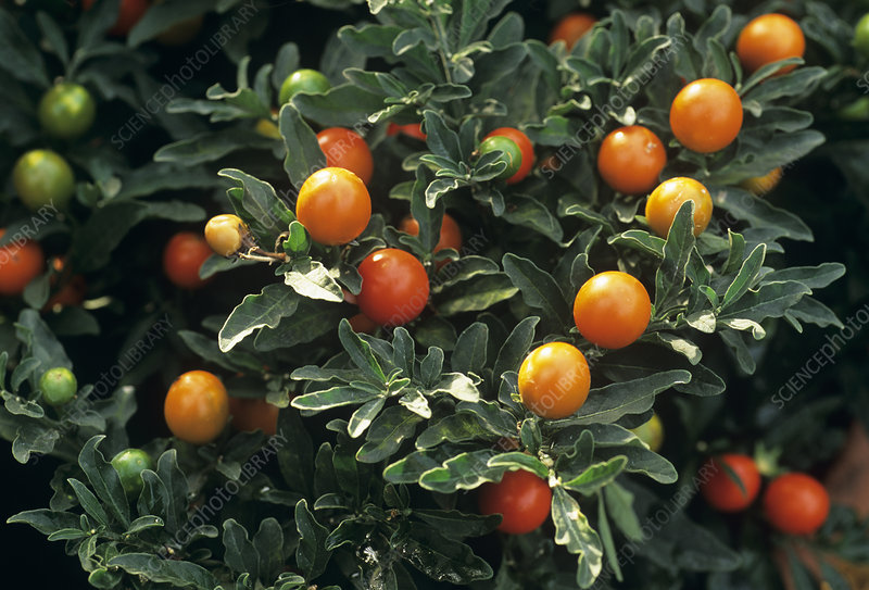 Jerusalem cherry fruit