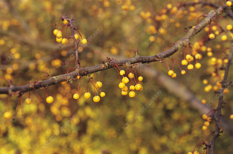 Golden raindrops tree fruit