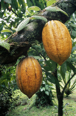 Ripe Fruits of the Cacao Tree