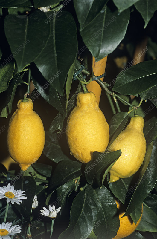 Lemon 'Garey's Eureka' fruit