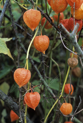Physalis franchetti fruits