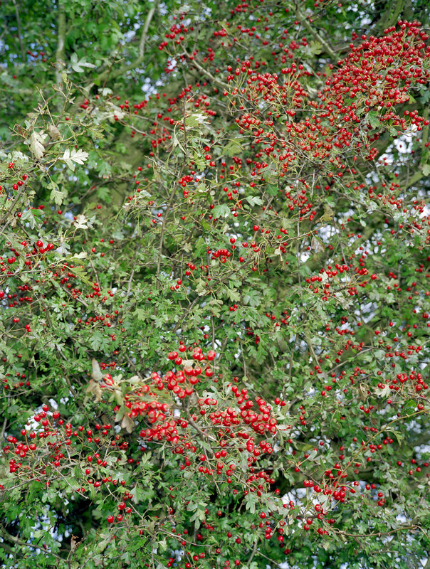 Hawthorn berries, Crataegus pennsylvanica