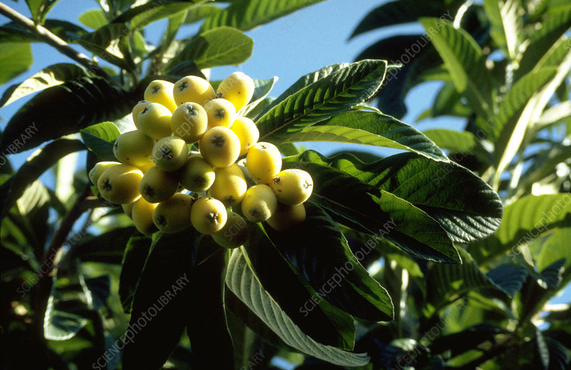 Loquat fruits on tree