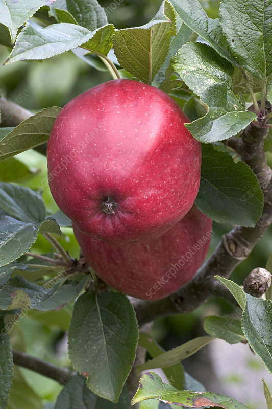Apple (Malus domestica 'Saturn)