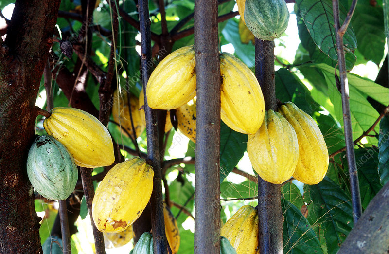 Cocoa Fruit, Brazil