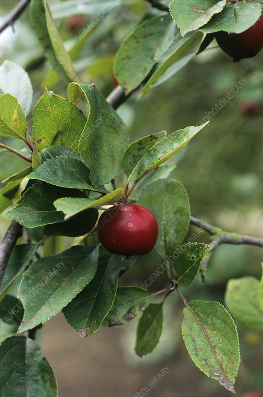 Apple (Malus 'Mary Charlton')