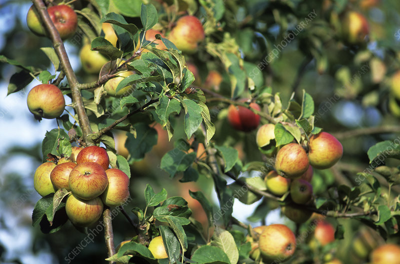 Organic apples on their tree